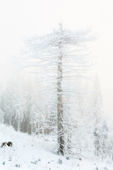 Old snag tree in a frosty foggy winter landscape