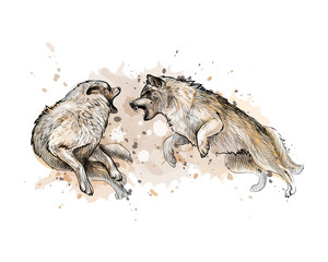 Wolf fight from a splash of watercolor, hand drawn sketch