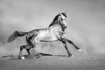 Wall Mural - Grey horse run gallop in desert sand. Black and white