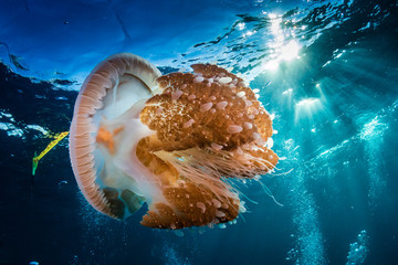 A large Rhizostoma Jellyfish floating near the surface of a clear tropical ocean Fototapete