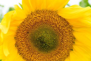 Sunflowers closeup  in Georgia