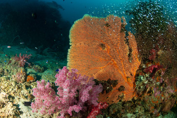 Wall Mural - Beautiful and delicate Gorgonia sea fan on a tropical coral reef