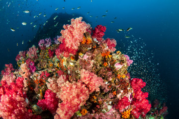 Wall Mural - Beautiful, colorful tropical coral reef at the Surin Islands (Richelieu Rock)