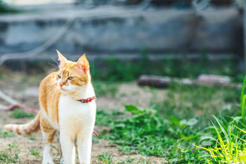 Cute funny red white cat in red collar on the green grass watching for something