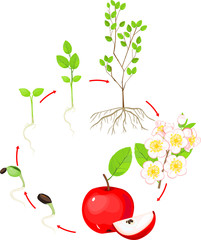 Life cycle of apple tree. Plant growth stage