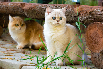 Two British cats sit in the backyard garden under a log bench, a white cat with blue eyes in the foreground among the grass and a Golden cat in the background