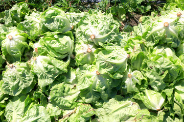 Harvesting Lettuce on filed