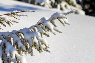 Close-up shot of pine tree branche with green needles covered with deep fresh clean snow on blurred blue outdoors copy space background. Merry Christmas and Happy New Year greeting postcard.
