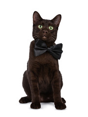 Wall Mural - Handsome young adult Havana Brown cat sitting wearing a black bow tie, looking at camera with hypnotising green eyes. Isolated on a white background.