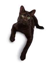 Wall Mural - Handsome young adult Havana Brown cat laying down with paws hanging over edge, looking at camera with hypnotising green eyes. Isolated on a white background.