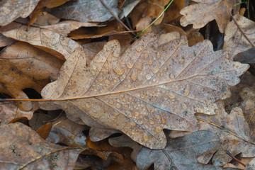autumn fallen oak leaf with water drops macro