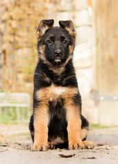 Wall Mural - German Shepherd puppy outdoors