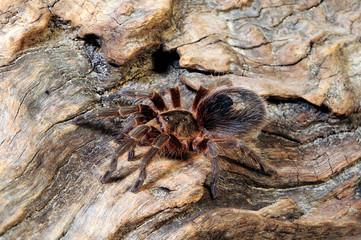 Chilenische Vogelspinne / Weibchen (Euathlus spec. pygmea) - tarantula from Chile / female