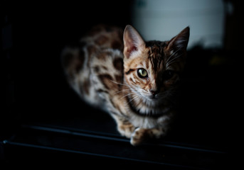 Young Bengal Kitten on Blanket