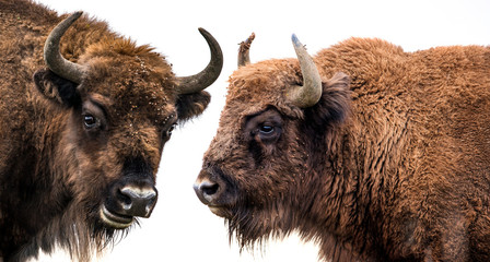 Foto op Plexiglas Bison Bison bonasus - European bison - isolated on white