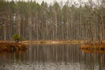 swamp landscape view with dry pine trees, reflections in water and first snow