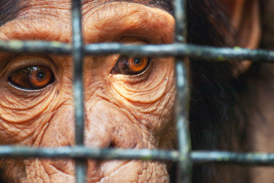 Human eye ape trapped in a cage