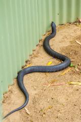 Tasmanian tiger snake near garden shed
