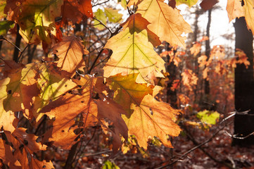 Close-up of backlit autumn leaves in Forest, one late afternoon in the Dutch town of Hooghalen, near former detentionand transit Camp Westerbork.