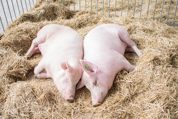 Wall Murals Cow Two fat pink pigs sleep on hay and straw at pig breeding farm. Pork plant