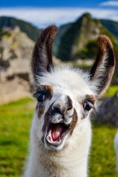 alpaca llama lama in Machu Picchu Perú smiling
