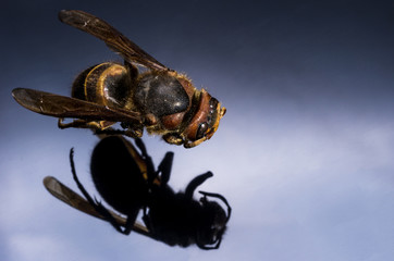 Top view wasps. Macro photo of an insect.