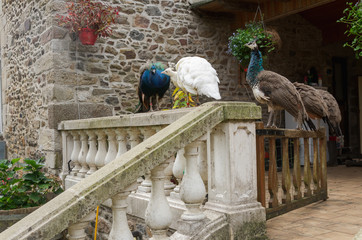 Four Peacocs and Peahens standing on the stone fence together