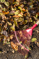 Cleaning fallen leaves in the garden in autumn using a rake. Close-up
