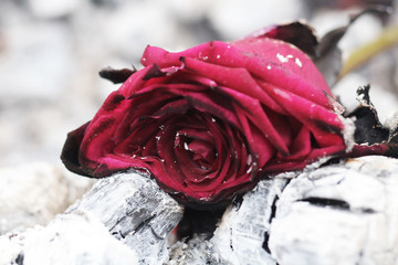 Withered thrown red rose. The red rose which is thrown out in ashes.