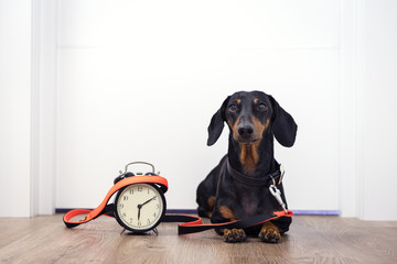 Black and tan dog breed dachshund sit at the door with a leash and alarm clock, cute small muzzle look at his owner and wait for a walk. Live with schedule, time to walk outdoor.