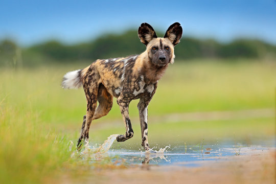 Wildlife from Zambia, Mana Pools. African wild dog, walking in the water on the road. Hunting painted dog with big ears, beautiful wild animal. Safari in Africa. Wild dog face portrait.