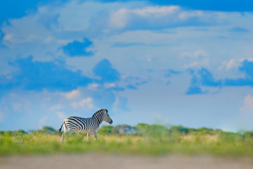 Fotomurales - Zebra with blue storm sky with clouds. Burchell's zebra, Equus quagga burchellii, Mana Pools, Zimbabwe, Africa. Wild animal on the green meadow. Wildlife nature on African safari.
