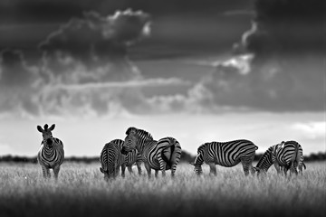 Fotomurales - Zebra with dark storm sky. Burchell's zebra, Equus quagga burchellii, Nxai Pan National Park, Botswana, Africa. Wild animal on the meadow. Wildlife nature, African safari. Black and white art photo.