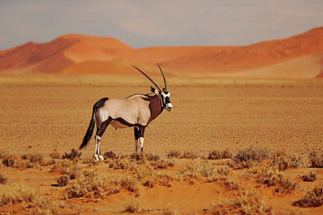 Foto op Canvas Antilope Gemsbok with oraqnge sand dune evening sunset. Gemsbuck, Oryx gazella, large antelope in nature habitat, Sossusvlei, Namibia. Wild animals in the savannah. Animal with big straight antler horn.