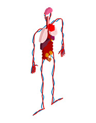 Human anatomy body isometric. Internal organs 3D. Organ systems of body. Heart and kidneys. Brain and stomach. Blood vessels