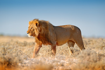 Big lion with mane in Etosha, Namibia. African lion walking in the grass, with beautiful evening light. Wildlife scene from nature. Aninal in the habitat.