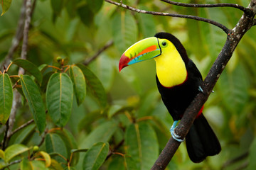 Poster Toekan Toucan sitting on the branch in the forest, green vegetation, Panama. Nature travel in central America. Keel-billed Toucan, Ramphastos sulfuratus, bird with big bill. Wildlife Panama.