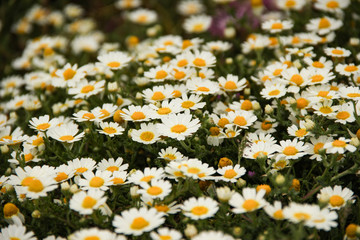 large field of daisies. Flowers background in the spring
