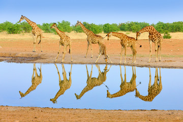 Fotomurales - Group of giraffe near the water hole, mirror reflection in the still water, Etosha NP, Namibia, Africa. A lot of giraffe in the nature habitat, African wildlife. Big animals with blue sky.