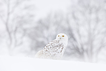 Snowy owl sitting on the snow in the habitat. Cold winter with white bird. Wildlife scene from nature, Manitoba, Canada. Owl on the white meadow, animal bahavior.