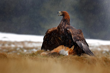 Wall Mural - Golden Eagle feeding on killed Red Fox in the forest during rain and snowfall. Bird behaviour in the nature. Feeding scene with big bird of prey, eagle with catch, Poland, Europe.