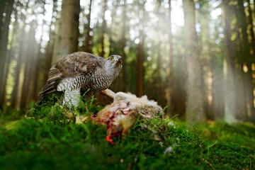 Goshawk, Accipiter gentilis, feeding on killed hare in the forest. Bird of Prey with fur catch in the nabitat. Animal behaviour, wildlife scene from nature. Goshawk in the green vegetation.