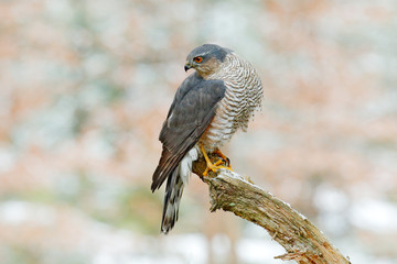 Eurasian sparrowhawk, Accipiter nisus, sitting on the snow in the forest with caught little songbird. Wildlife animal scene from nature. Bird in the winter forest habitat.