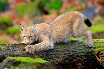 Photo sur Plexiglas Lynx Lynx in the forest. Walking Eurasian wild cat on green mossy stone, green trees in background. Wild cat in nature habitat, Czech, Europe. Wildlife scene from nature. Beautiful fur coat animal.