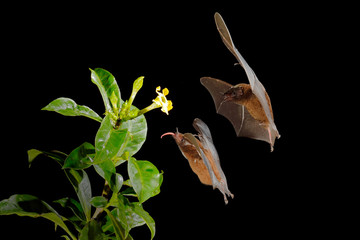 Orange nectar bat, Lonchophylla robusta, flying bat in dark night. Nocturnal animal in flight with yellow feed flower. Wildlife action scene from tropic nature, Costa Rica.