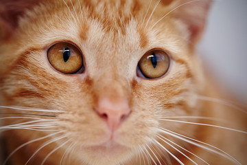 Orange eyes of a red striped cat.