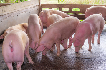 Breeders pink pigs on a farm in countryside