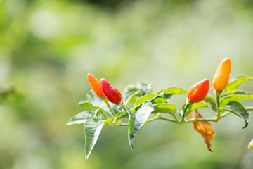 Chilli pepper plant with green blurred background.