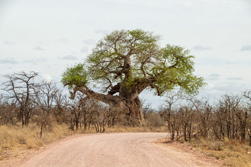 Baobab Trees By the Road