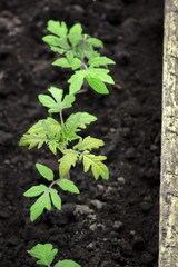 Small tomato seedlings planted in soil outdoors shot